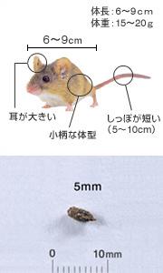 ハツカネズミ